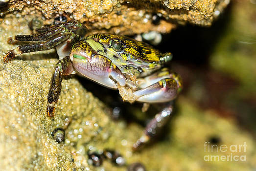 Feasting Crab by Michelle Burkhardt