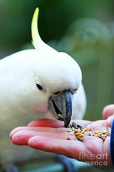Feeding  a Cockatoo by Fir Mamat