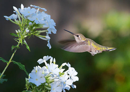 Female Anna's Hummingbird by Diane Porter
