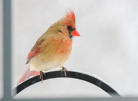 Female Cardinal by Brad Fuller