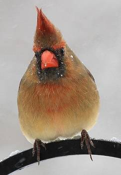 Female Cardinal in Snow by Brad Fuller