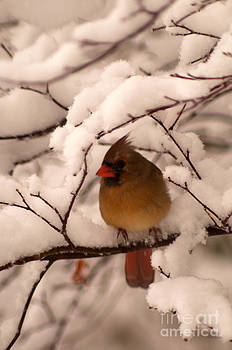 Female Cardinal in Snowy Branches by Jane Axman
