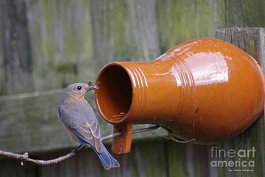 Tannis  Baldwin - Female Bluebird gathering