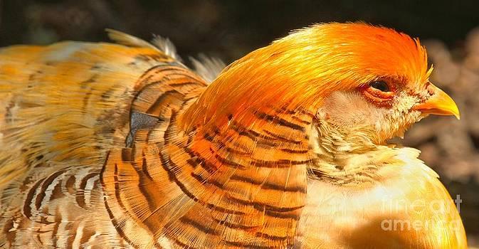 Adam Jewell - Female Golden Pheasant At Rest