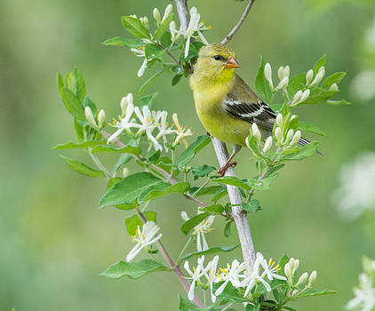 Female Goldfinch by Christopher L Nelson