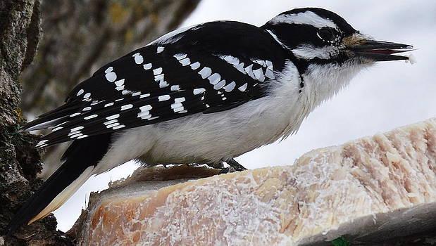 Female Hairy Woodpecker  by Alan Kurtz