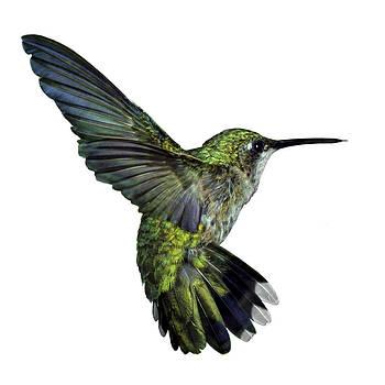 RW Scott and Greg Scott - Female Ruby Throat Hummingbird