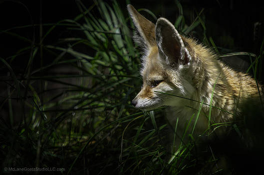 LeeAnn McLaneGoetz McLaneGoetzStudioLLCcom - Fennec Fox spotted on his nightly prowl
