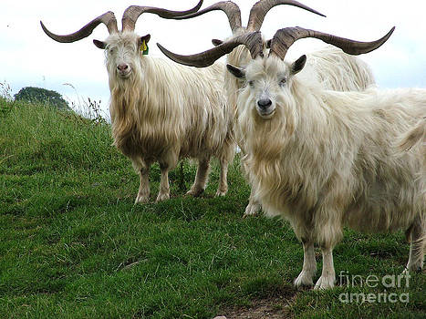 Joe Cashin - Feral Goats