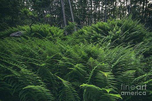 Fern Forest by Aaron Campbell