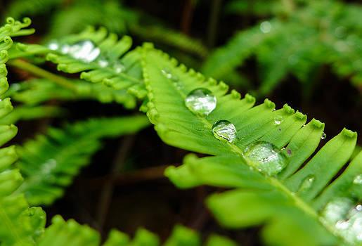 Fern with Water Drops in Maui Hawaii by Caffrey Fielding