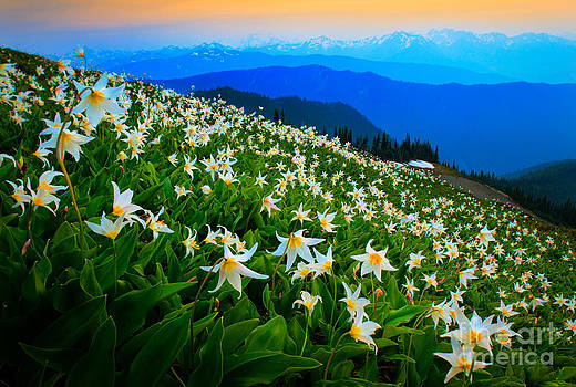 Inge Johnsson - Field of Avalanche Lilies