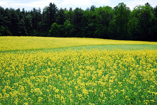 Field of Gold by Donna Desrosiers