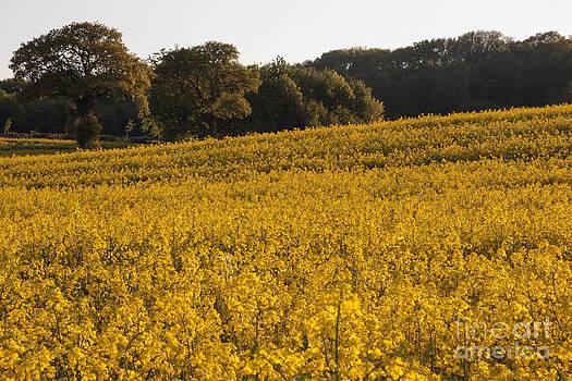 Field of Gold by Kathryn Bell