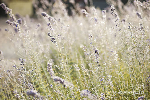 Field of Lavender at Clos LaChance Vineyard in Morgan Hill CA by Artist and Photographer Laura Wrede