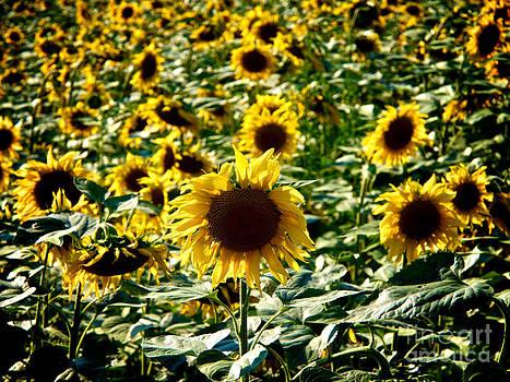 BERNARD JAUBERT - Field of sunflowers. Auvergne. France.