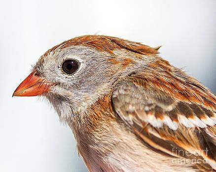 Field Sparrow Portrait by Deanna Wright