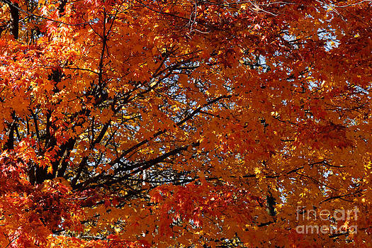 Linda Knorr Shafer - Fiery Autumn