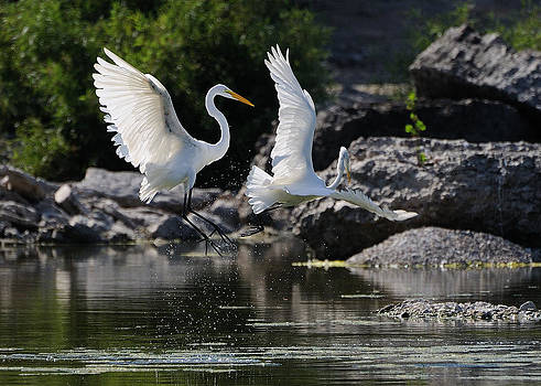 Fighting Egrets by Sarah Rodefeld