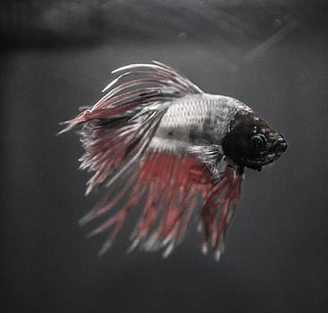Fighting Fish by Lisa Brandel