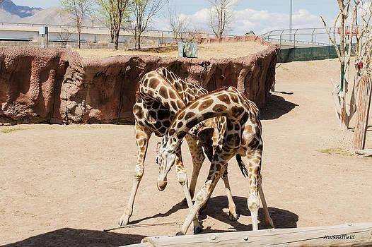 Allen Sheffield - Fighting Giraffes?