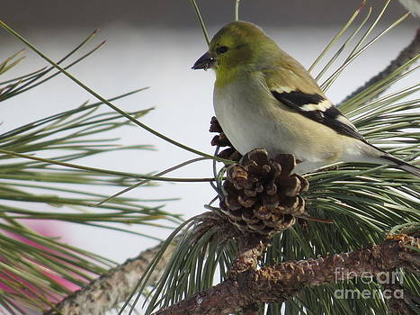 Finch and Pinecone by David Lankton