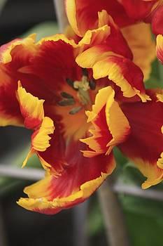 Firey Tulip by Ginger Bear