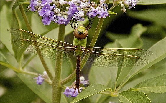 First Dragonfly by Chris Burke