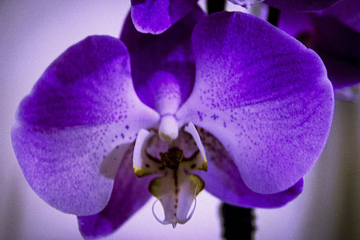 First Orchid of Winter by Sheree Lauth