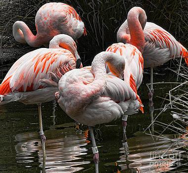 Chuck Kuhn - Flamingo 5