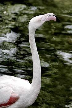 Flamingo by Goyo Ambrosio