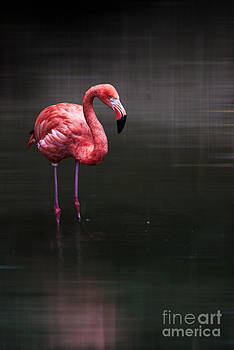 Hannes Cmarits - flamingo