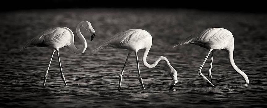 Adam Romanowicz - Flamingos Black and White Panoramic
