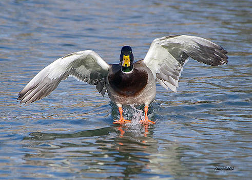 Flaps Down by Stephen  Johnson