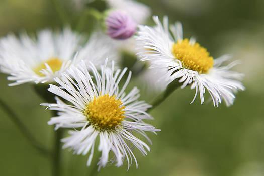 Fleabane Flowers by Teresa Wissen