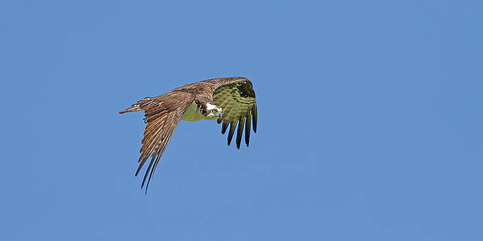 Flight of an Osprey by Jim Nelson