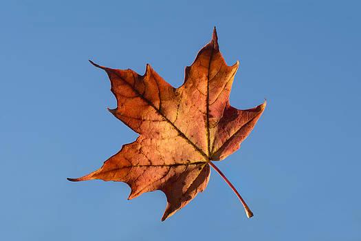 Tom Biegalski - Floating Autumn Maple Leaf