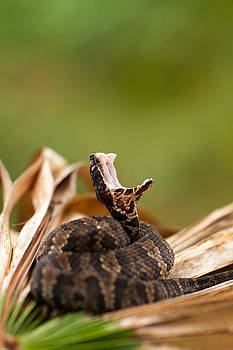 Florida Cottonmouth by JP Lawrence
