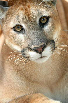Florida Panther by Karen Lindquist