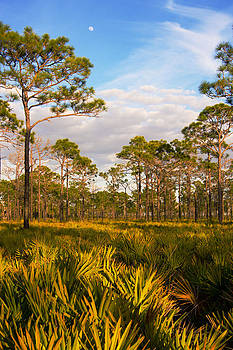 Florida slash pine forest by John Myers