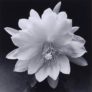 Flower 05 by Haruo Kaneko