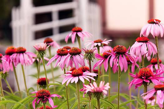Mike Savad - Flower - Cone Flower - In an English garden