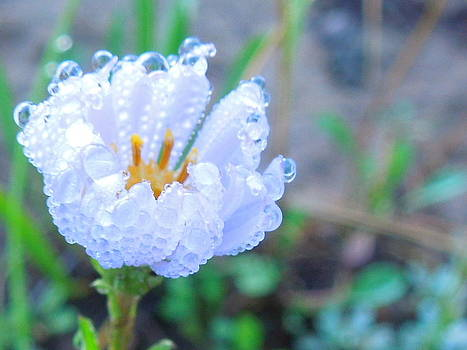 Flower Dew Drops by Donna Jackson