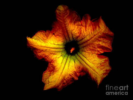 Flower of Squash by Alex Blaha