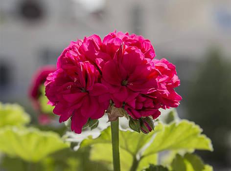 Flower2 by Amr Miqdadi