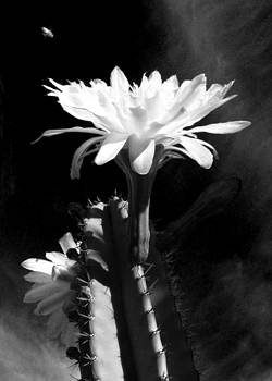 Flowering Cactus 3 BW by Mariusz Kula