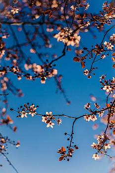 Flowering Cherry Spring Delight by Brian Xavier