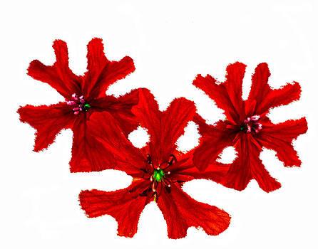 Randall Branham - Flowering Snowflakes of Red