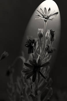 Flowers under spotlight... by Can Kalagoglu