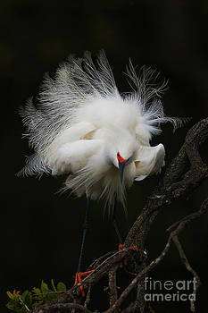 Fluffed Snowy Egret by Jane Axman